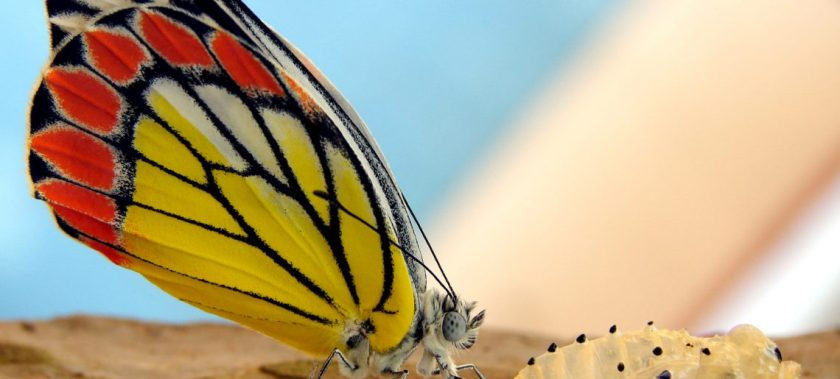 A_just_born_butterfly_-_Common_Jezebel_Delias_eucharis-1140x515